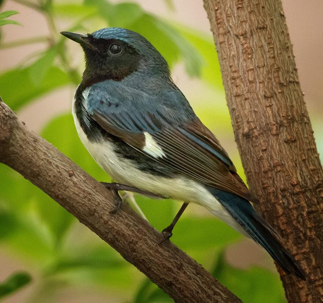 Black-throated Blue Warbler by Paul Kammen
