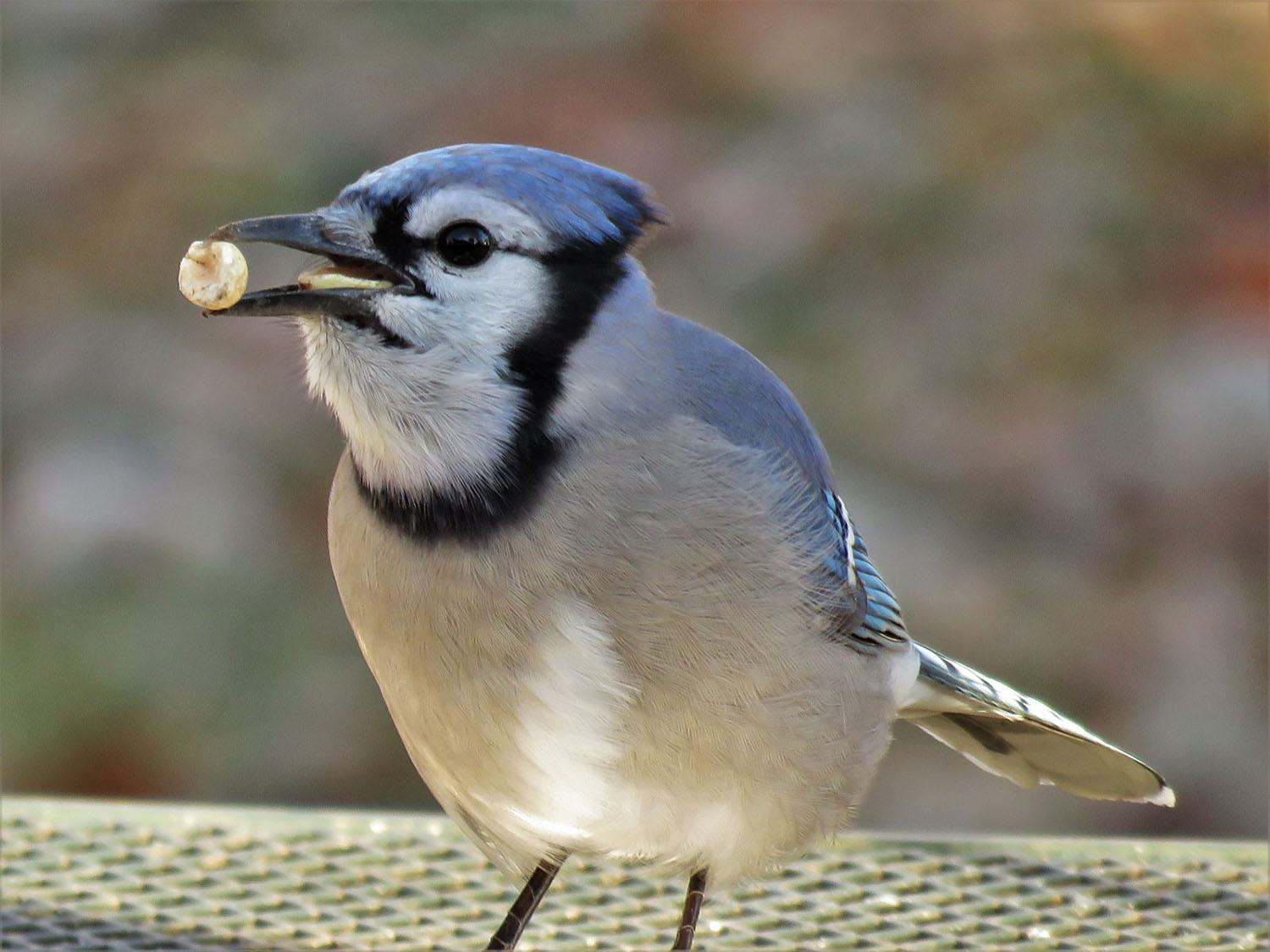 Blue Jay by Deb Crouse