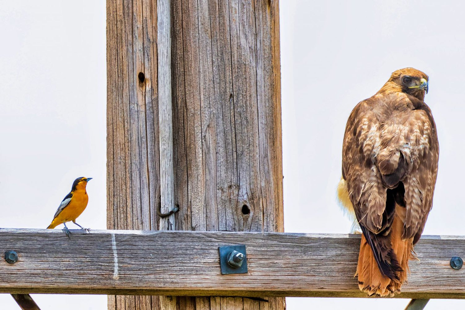 Bullock's Oriole and Red-tailed Hawk by Jason Stewart