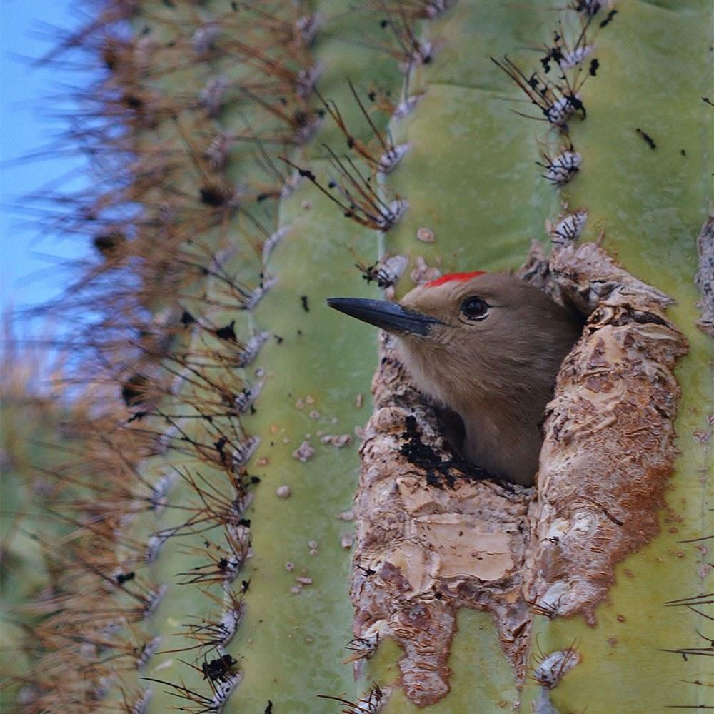 Gila Woodpecker by Pamela Parker