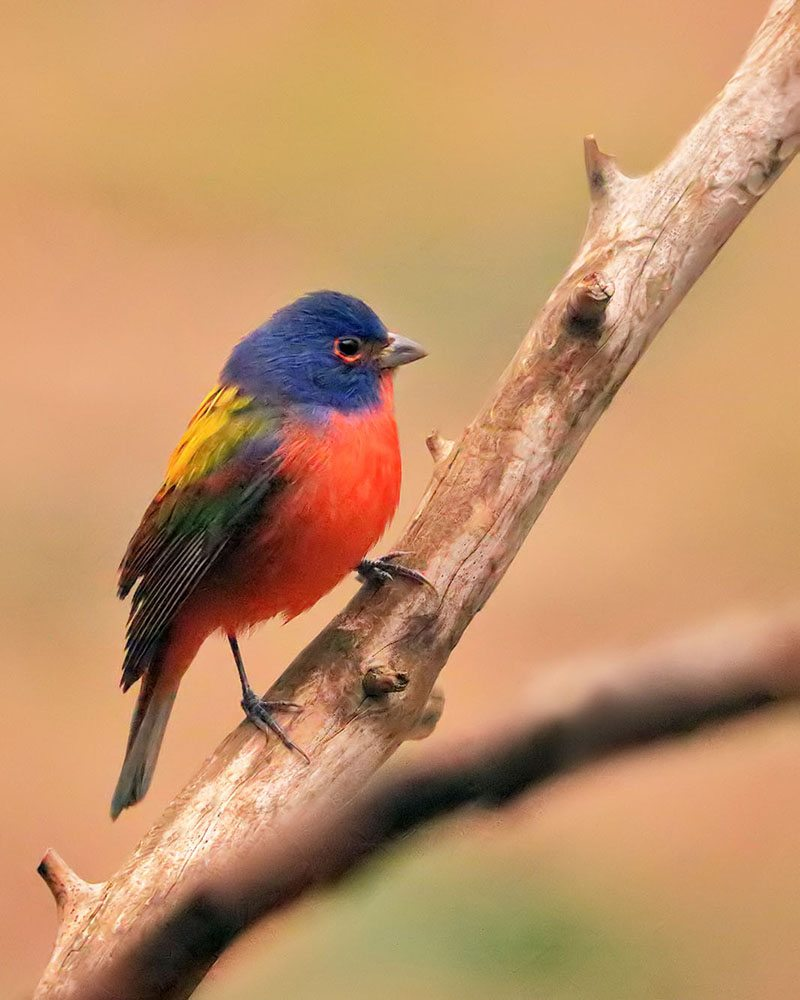 Painted Bunting by Linn Smith