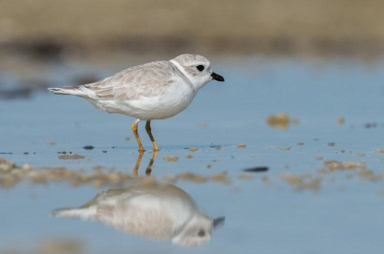 Piping Plover by Harry Collins