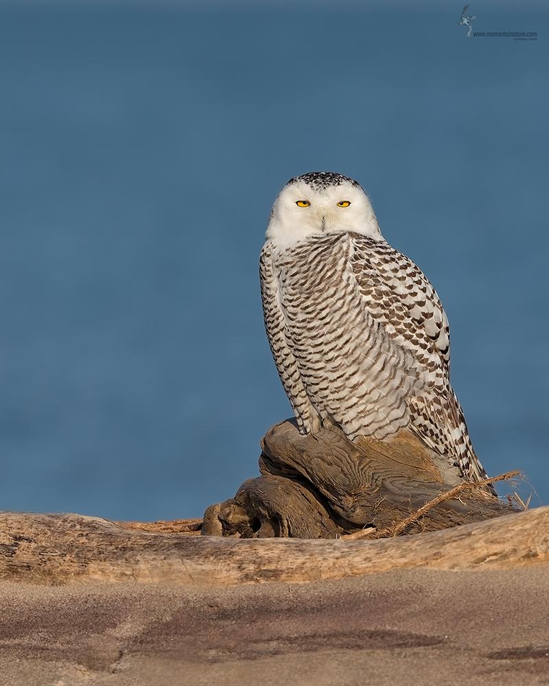 Snowy Owl by Joshua Clark