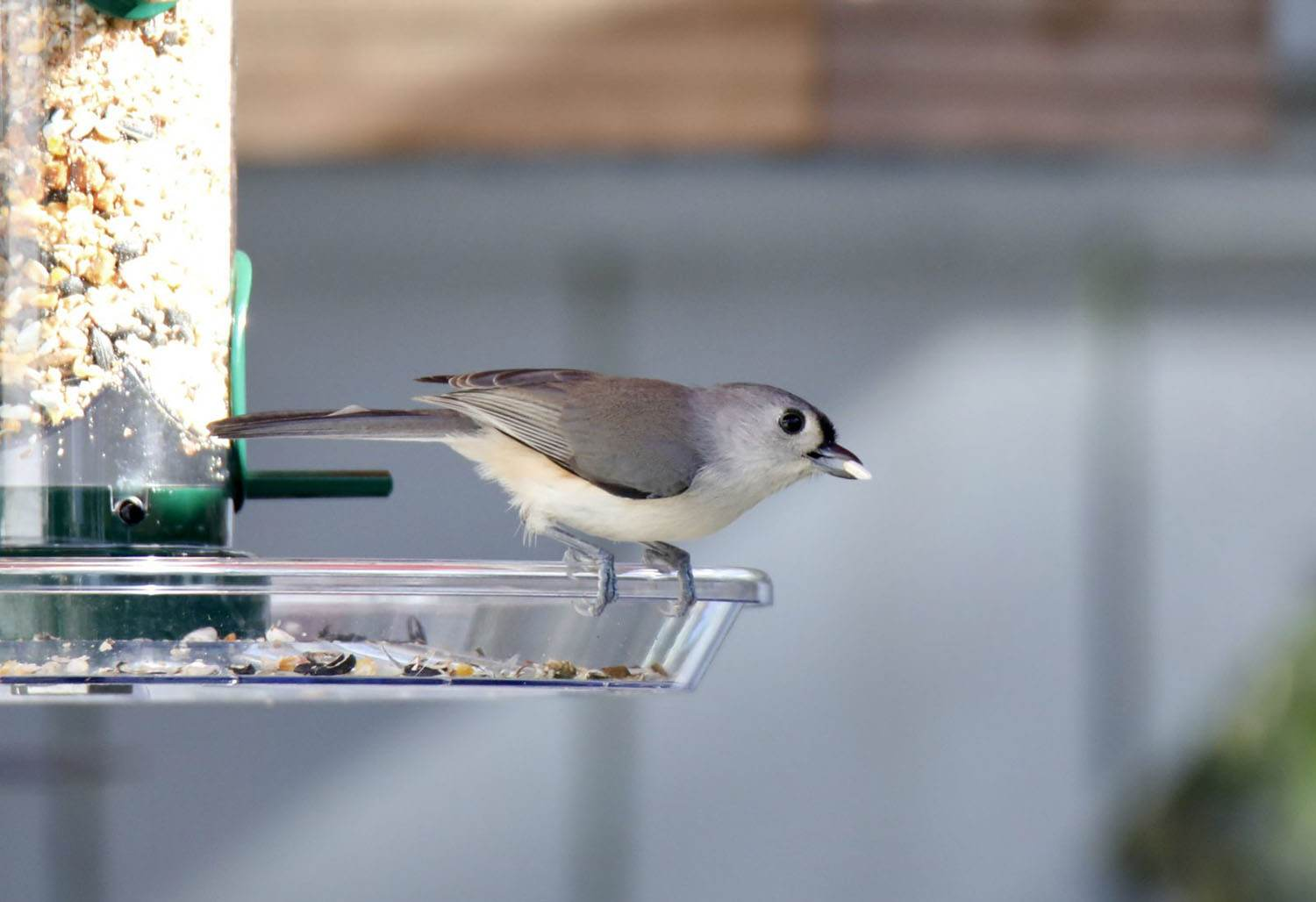 Tufted Titmouse by suzannesullins