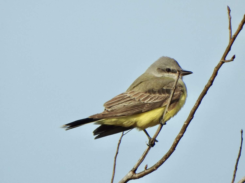 Western Kingbird by Marian McSherry