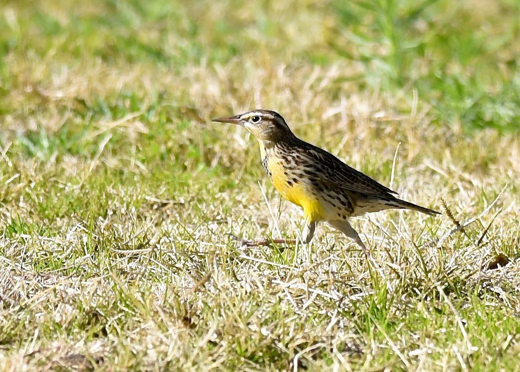 Western Meadowlark by Bob Betancourt
