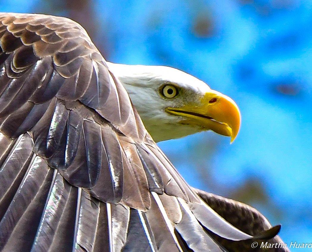 Bald Eagle by Martha Huard