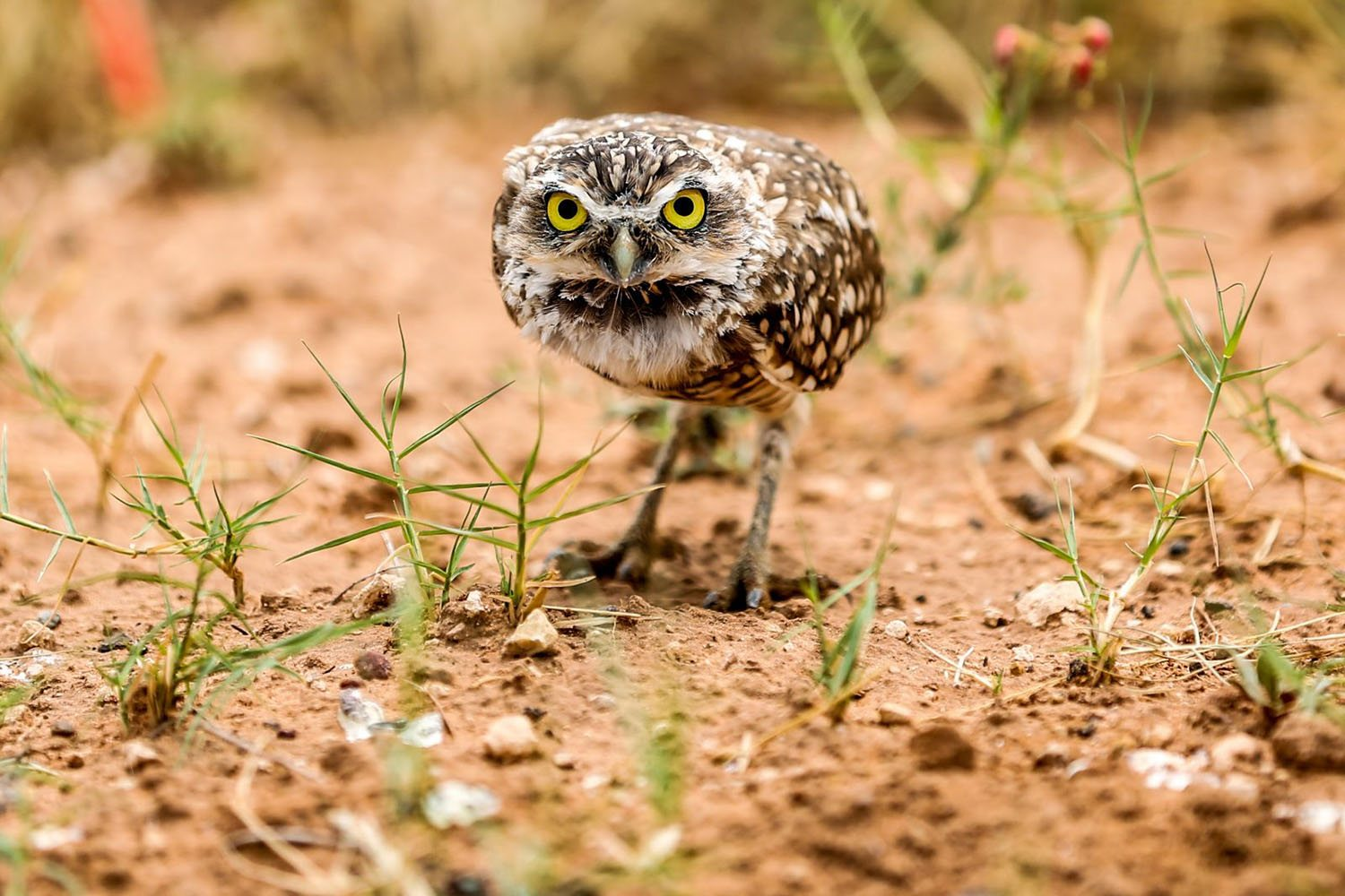 Burrowing Owl by Heathereaton