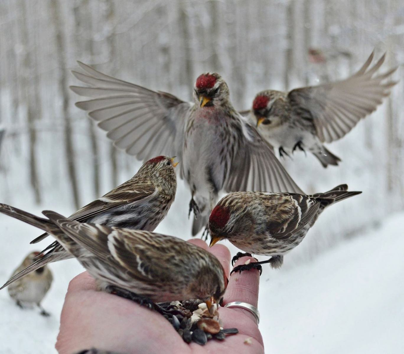 Common Redpolls by Isabelle Marozzo