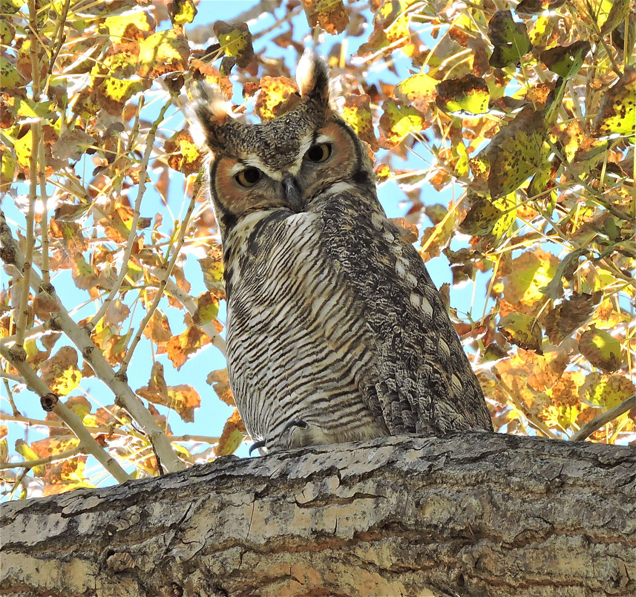 Great Horned Owl by John Williams