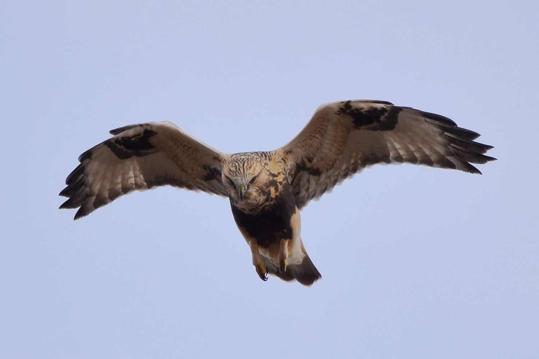 Rough-legged Hawk by David Mundy