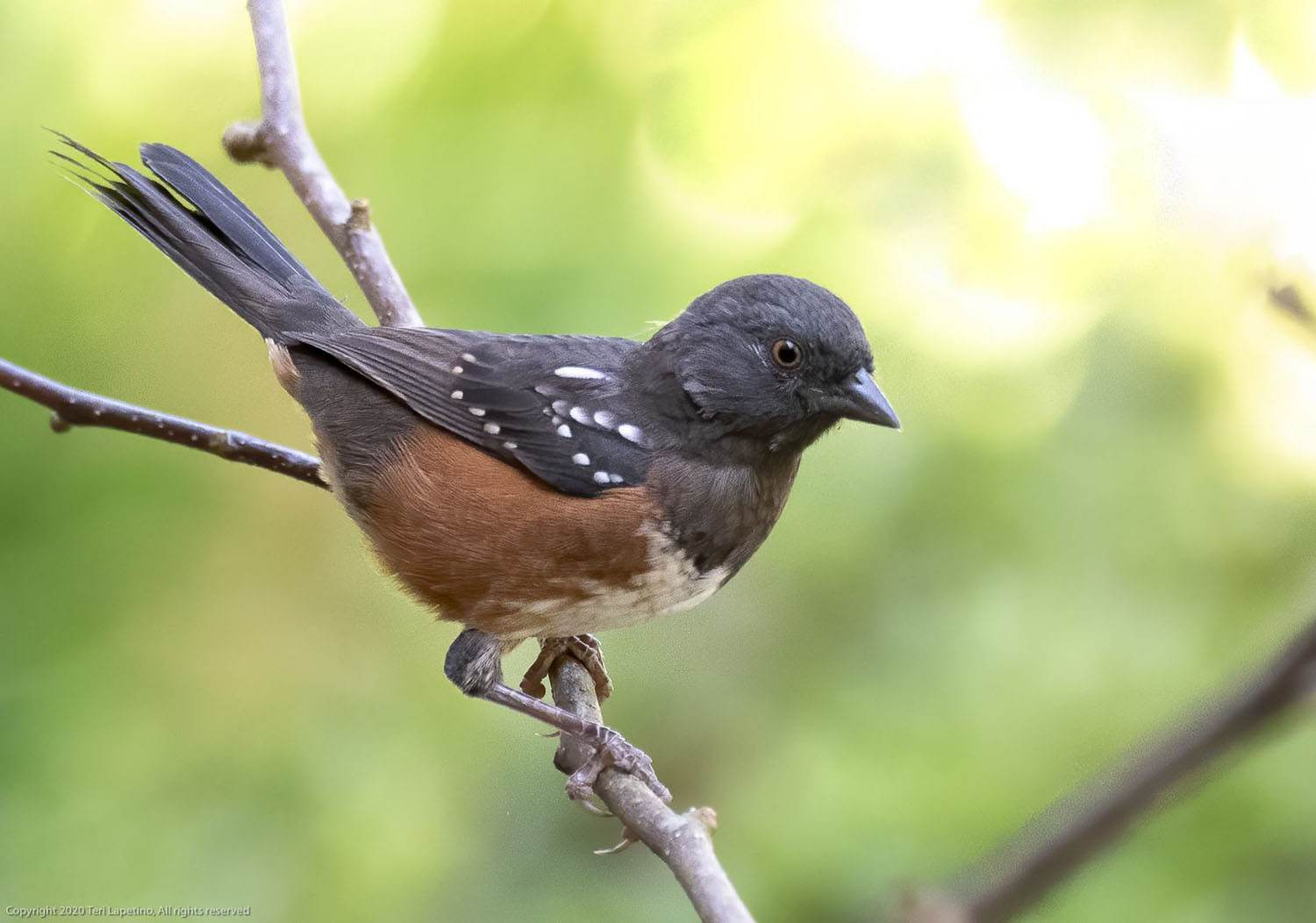 Spotted Towhee by Teresa Lapetino