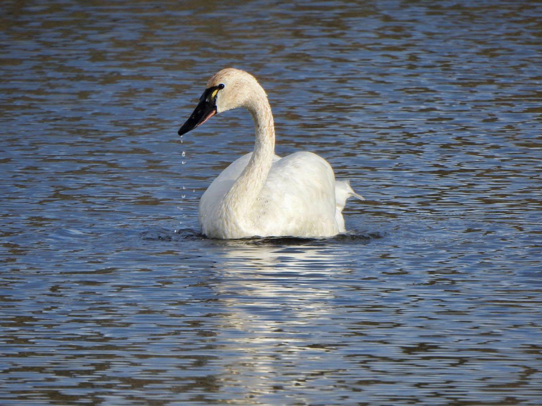 Tundra Swan by Marian Mcsherry