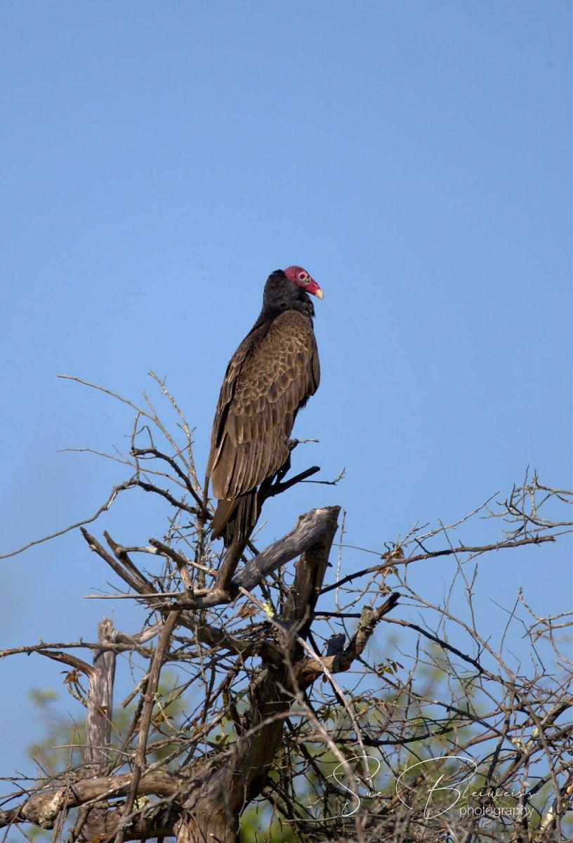 Turkey Vulture by Susan Bleiweiss