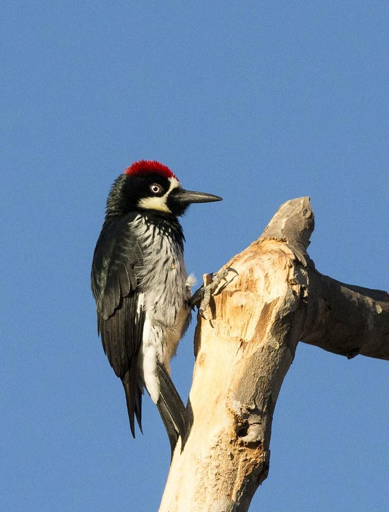 Acorn Woodpecker by Sandrine Biziaux-Scherson