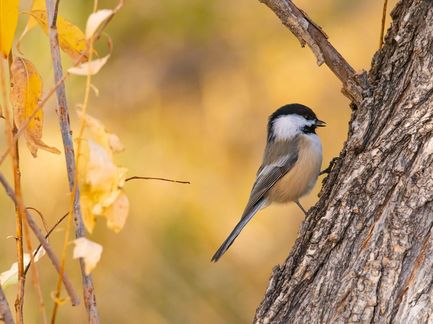 Black-capped Chickadee by Malese