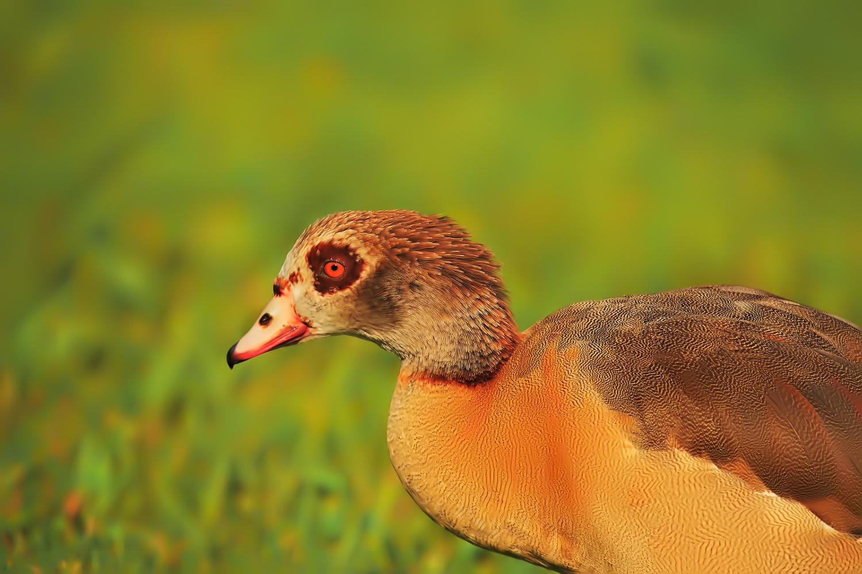Egyptian Goose by Linn Smith