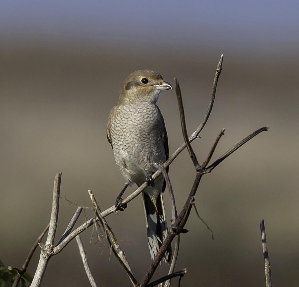 Northern Shrike by Wilma Mckenzie