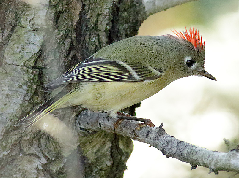 Ruby-crowned Kinglet by Marshall Faintich