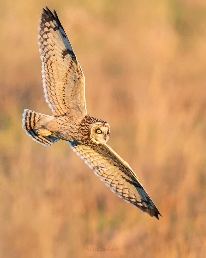 Short-eared Owl by Greg Gard