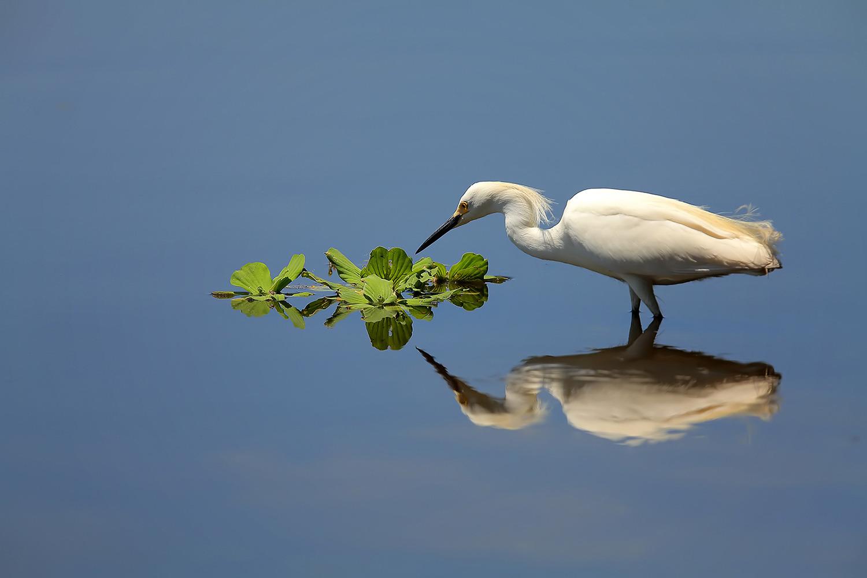 Snowy Egret by Linn Smith