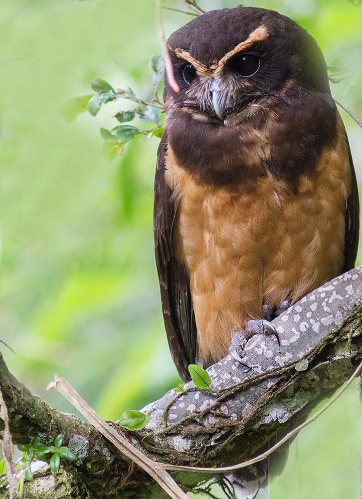 Tawny-browed Owl by Lucas Ramiro