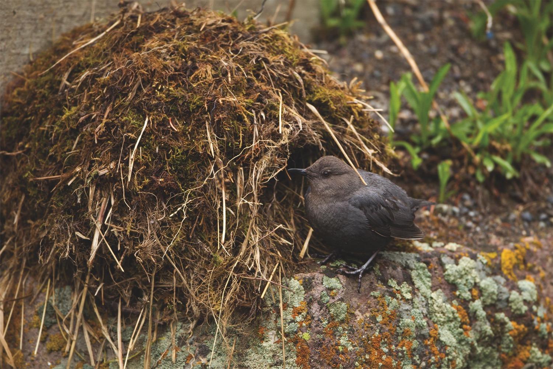 American Dipper building its nest. Photo by Stan Tekiela