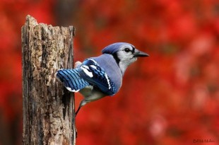 Autumn_Blue_Jay