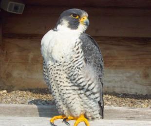 Peregrine Falcon ©Eastman Kodak Company