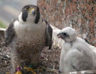 Peregrine Falcon ©Amber Burnette