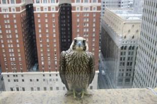 Peregrine Falcon ©Matthew Frederick