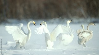 Whooper Swan • Cygnus cygnus • Lake Kushiro, Japan Photo by Photo ©Jeffrey Rich