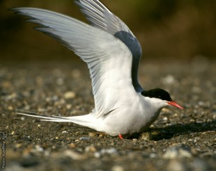 Arctic Tern • Sterna paradisaea • Nome, Alaska Photo by Photo ©Jeffrey Rich