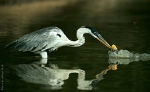 Cocoi Heron • Ardea cocoi • Transpantanera Highway, northern Pantanal, Brazil Photo by Photo ©Jeffrey Rich