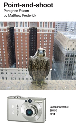 Peregrine Falcon. Photographed by Matthew Frederick with Canon Powershot SD450.