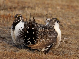 Greater Sage-Grouse Photo by 77icons