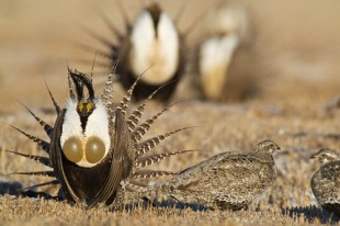 Gunnison Sage-Grouse Photo by Noppadol Paothongl