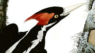 IBWO-Audubon-320