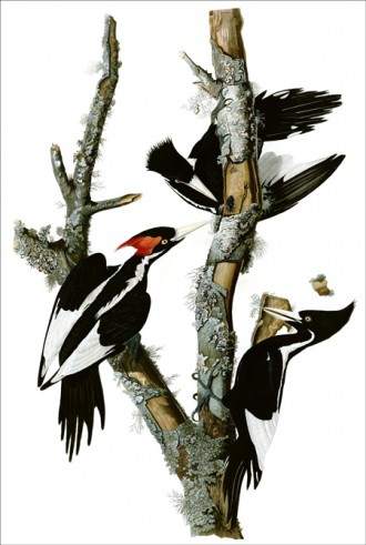 John James Audubon's hand-colored engraving of Ivory-billed Woodpeckers was created for his book Birds of America.