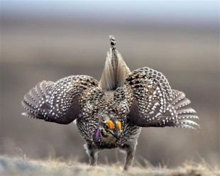 Sharp-tailed Grouse Photo by Montanagirl