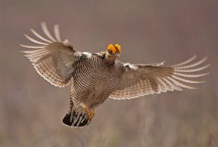 Lesser Prairie-Chicken Photo by mrnickon