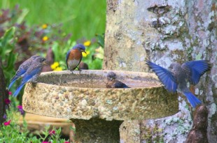 A family of Eastern Bluebirds bathe in a bird bath. Photo by Myrna Erler-Bradshaw
