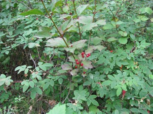 Highbush cranberry bush. Photo by Arthur Chapman