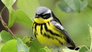 Magnolia-Warbler