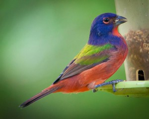 Painted Bunting on a hopper feeder. Photo by Helena Reynolds.