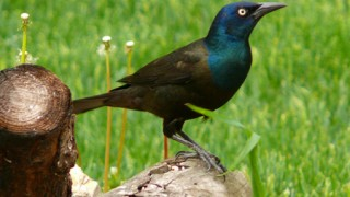 Common Grackle Photo by RaptorFan