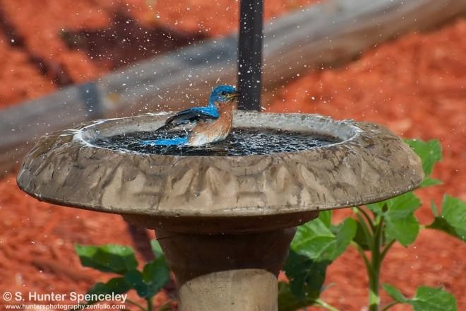 23DSC_1626-Eastern-Bluebird