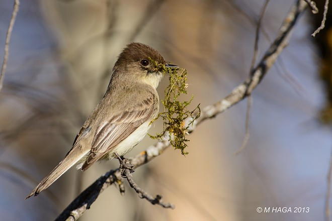 An Eastern Phoebe carries moss to her nest at Pike Lake Provincial Park in Saskatchewan. Photo by mayhaga.