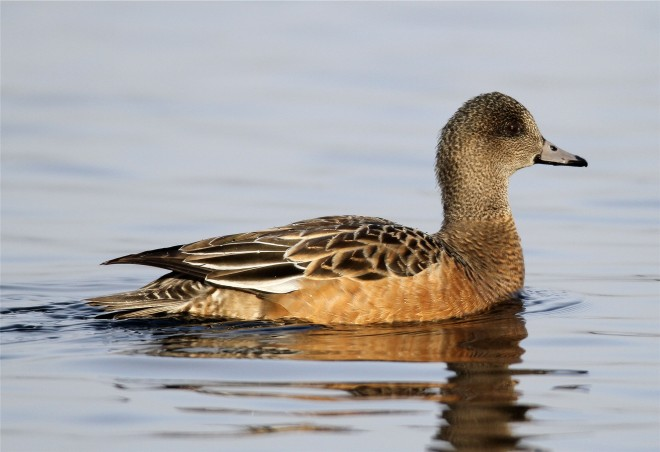 American-Widgeon