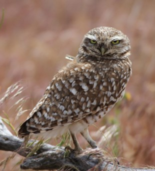 Burrowing Owl wearing a geolocator by Greg Green